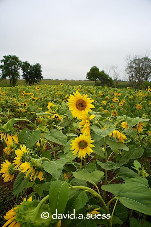 Wisconsin Sunflowers