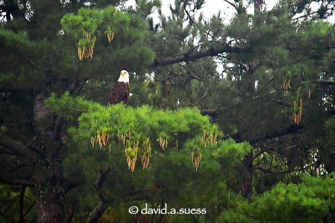 Eagle in Pine Tree