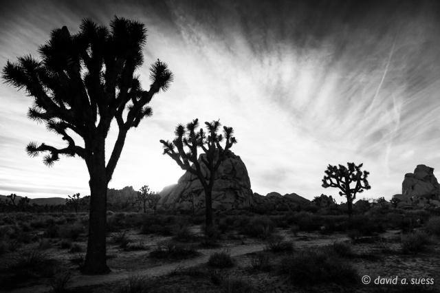 Joshua Tree Silhouettes