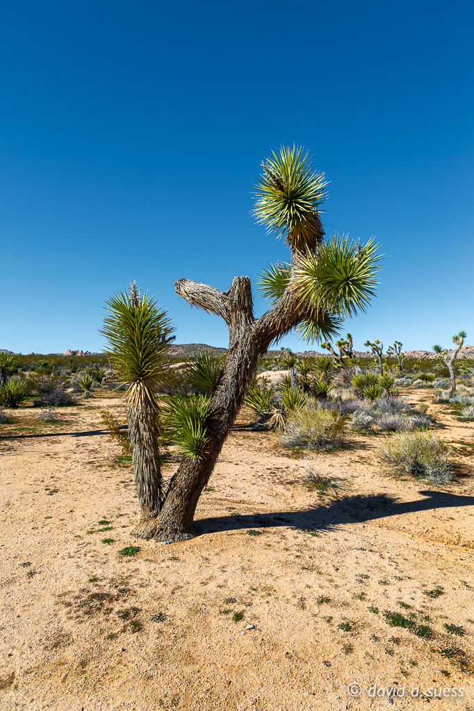Lone Joshua Tree at Belle Campground