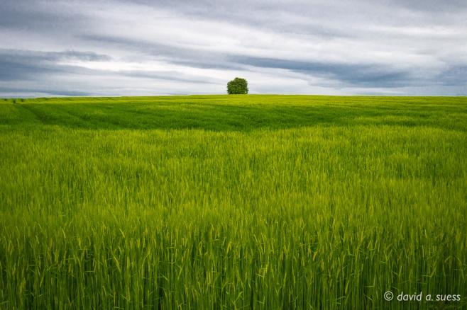 Lone Tree Near Brownshill Dolmen, County Carlow