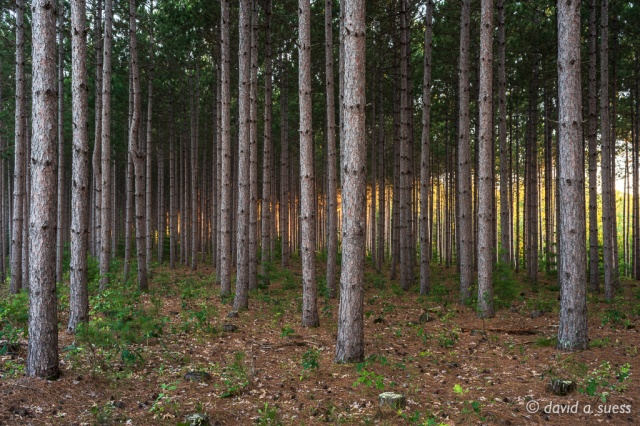 Pine Grove at Dawn