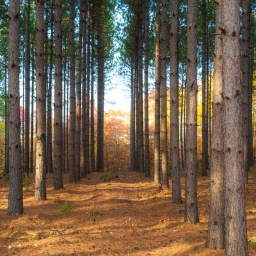 """Two rows of pines converged in a yellow wood…"""